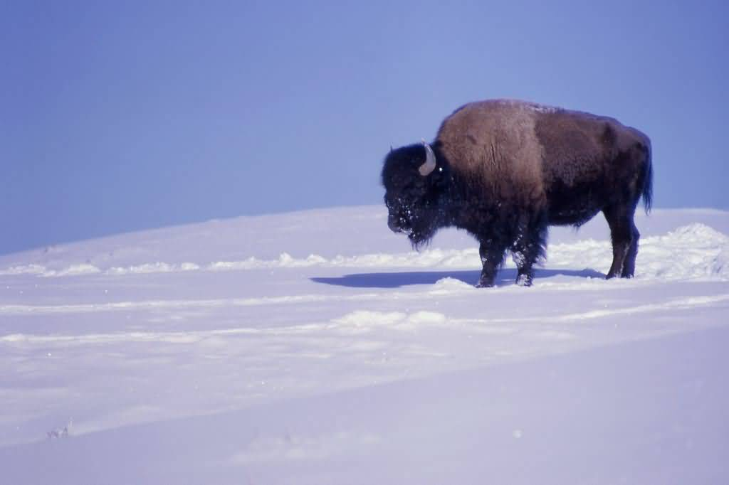 Buffalo-In-Snow-1024x682